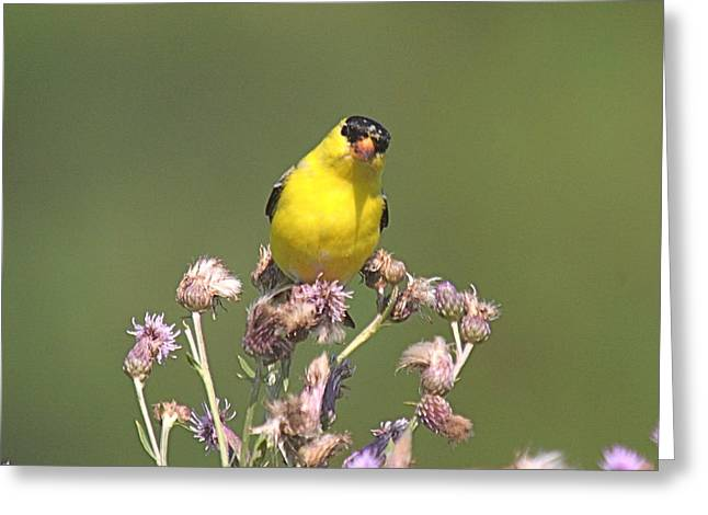 Flying Bird Mixed Media Greeting Cards - Mr gold finch Greeting Card by Robert Pearson