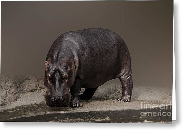 Hippopotamus Greeting Cards - Mr. Hippo Greeting Card by Charuhas Images