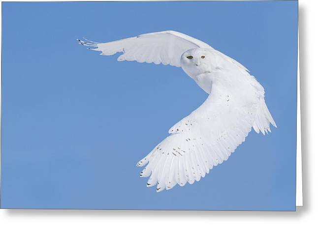 Mystic Sky Art Greeting Cards - Mr Snowy Owl Greeting Card by Mircea Costina Photography