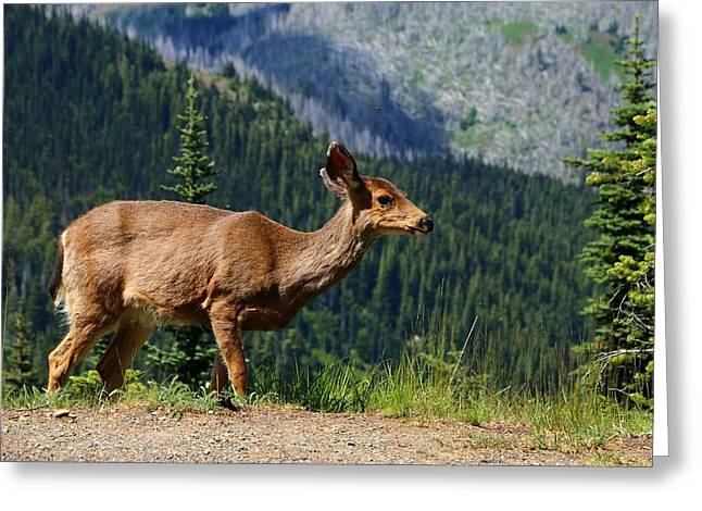 Mule Deer Herd Photograph Greeting Cards - Mule Deer At Olympic National Park Greeting Card by Christiane Schulze Art And Photography