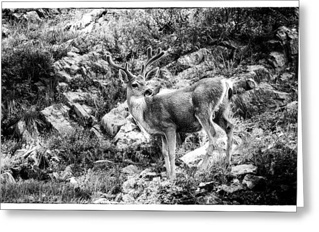 Deer Camp Greeting Cards - Mule Deer Buck Greeting Card by Lawrence Knutsson