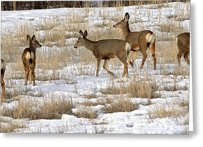 Grazing Snow Greeting Cards - Mule Deer Family Greeting Card by Rolf  Kopfle