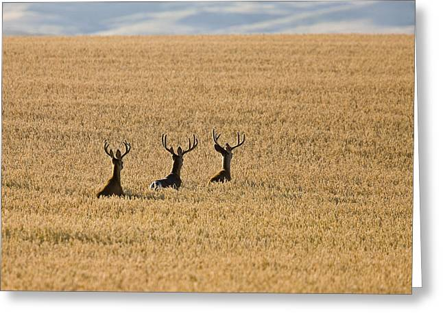 Mule Deer In Wheat Field Greeting Card by Mark Duffy
