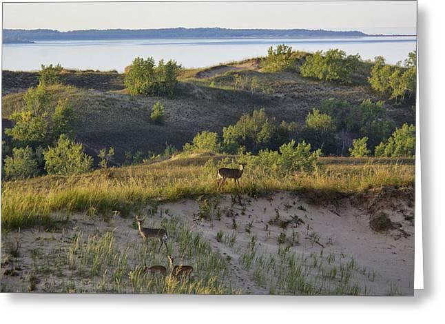 Usa Photographs Greeting Cards - Mule Deer on Lake Michigan Greeting Card by Christian Heeb