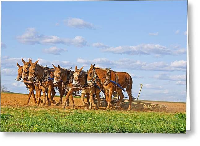 Farmers Field Greeting Cards - Mules Working on Amish Farm Greeting Card by Delmas Lehman