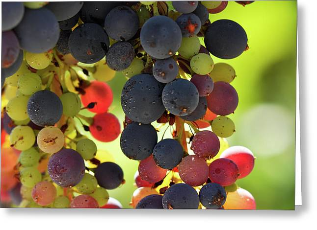 Pinot Noir Greeting Cards - Multi Color Grapes on the Vine Greeting Card by Brandon Bourdages