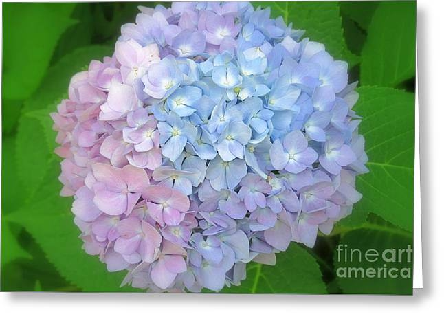 Innocence Greeting Cards - Multicolored Hydrangea Greeting Card by Kay Novy