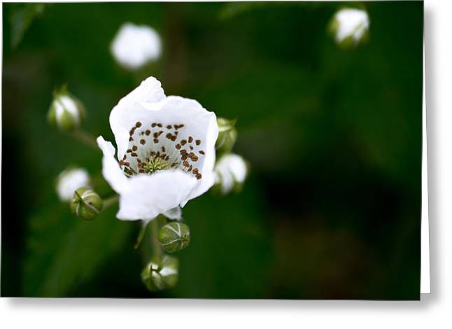 Multiflora Greeting Cards - Multiflora Rosebud Greeting Card by Susan Simpson