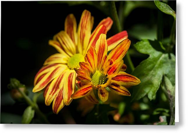 Asters Greeting Cards - Mums Chrysanthemum Painted 2 Greeting Card by Rich Franco
