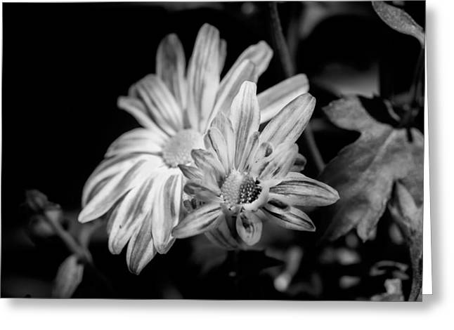 Asters Greeting Cards - Mums Chrysanthemum Painted BW 1 Greeting Card by Rich Franco