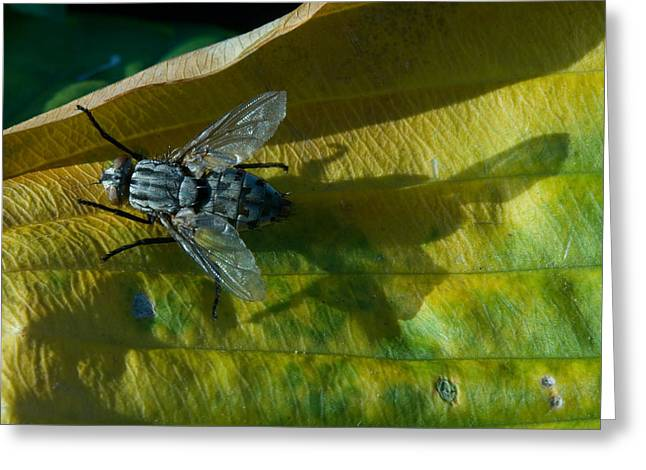 West Fork Greeting Cards - Musca on Display Greeting Card by Douglas Barnett