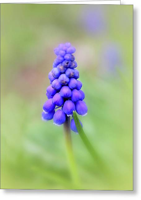 Blue Grapes Greeting Cards - Muscari Greeting Card by Jessica Jenney