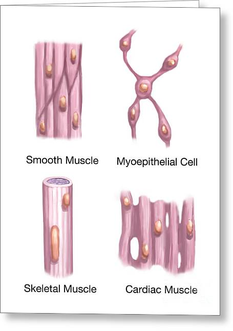 Skeletal Muscle Greeting Cards - Muscle Tissues Greeting Card by Spencer Sutton