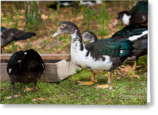 Muscovy Duck Birds Eating From Feeder  Greeting Card by Arletta Cwalina