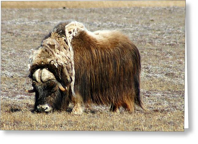 Musk Greeting Cards - Musk Ox Greeting Card by Anthony Jones