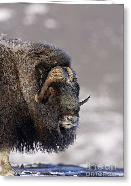 Musk Greeting Cards - Musk Ox  Dressed for Winter Greeting Card by Tim Grams