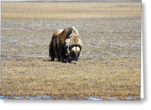 Musk Greeting Cards - Musk Ox Grazing Greeting Card by Anthony Jones