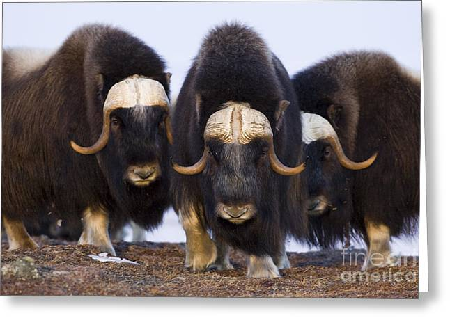 Musk Greeting Cards - Musk Ox Trio Greeting Card by Tim Grams