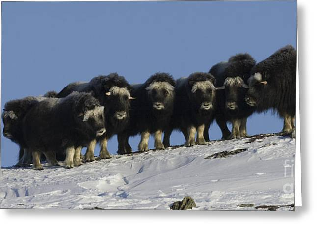 Musk Greeting Cards - Musk Ox Youngsters Greeting Card by Tim Grams