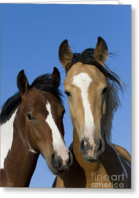 Yearling Horse Greeting Cards - Mustang Yearling And Filly Greeting Card by Jean-Louis Klein & Marie-Luce Hubert