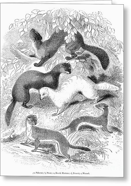 Ferret Greeting Cards - Mustelidae Family, 1841 Greeting Card by Granger
