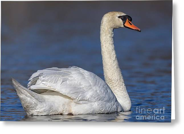 Swans... Greeting Cards - Mute Swan 1 Greeting Card by Jerry Fornarotto