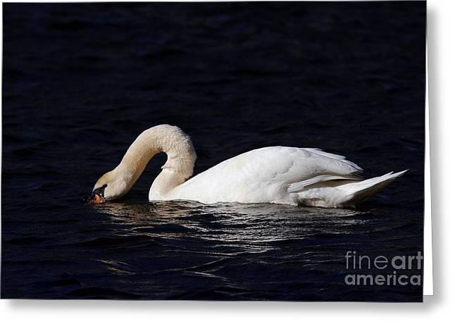 Morgan Hill Greeting Cards - Mute Swan at James river Greeting Card by Morgan Hill