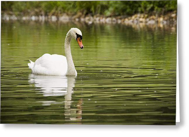 Muted Greeting Cards - Mute Swan Greeting Card by Chad Davis