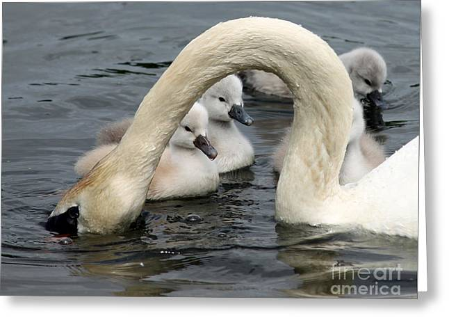 Swans... Greeting Cards - Swan babies day two Greeting Card by Steve  Gass
