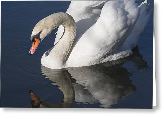 Swans... Greeting Cards - Mute Swan Reflected Greeting Card by Bruce Frye