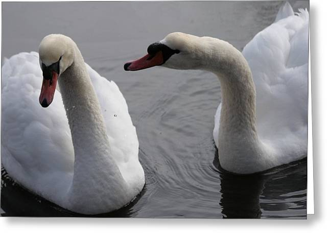 Muted Greeting Cards - Mute Swans Greeting Card by Christopher Kirby