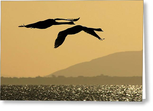Flying Mute Swan Greeting Cards - Mute swans in flight in Galway Ireland Greeting Card by Pierre Leclerc Photography