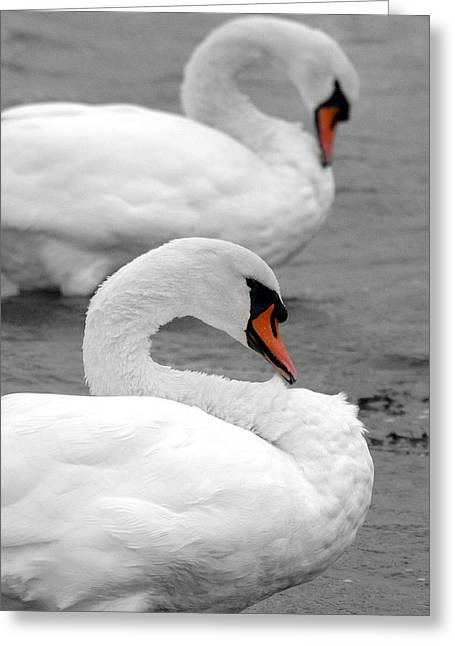 Muted Greeting Cards - Mute swans Greeting Card by Pierre Leclerc Photography