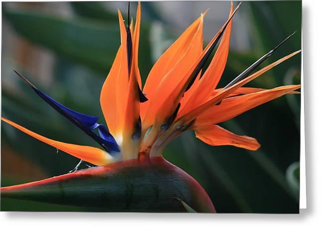 MY BIRD OF PARADISE Greeting Card by VALIA BRADSHAW