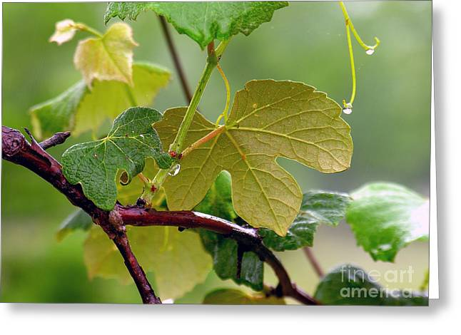 Grapevines Greeting Cards - My Grapvine Greeting Card by Robert Meanor