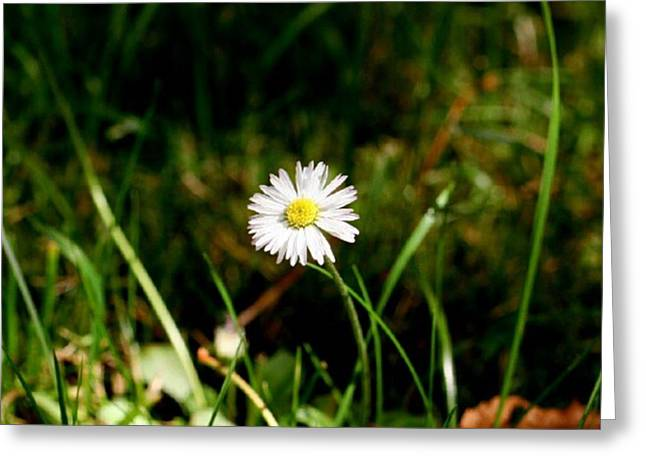 Asters Greeting Cards - My Little Daisy Greeting Card by I F Abbie Shores