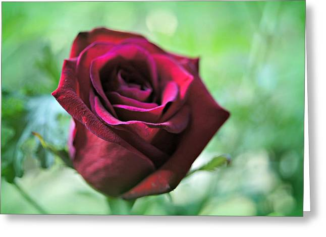 Rose Petals Greeting Cards - My Love Is A Red Red Rose Greeting Card by Kathy Bucari