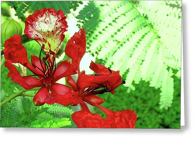 My Royal Poinciana Greeting Card by James Temple