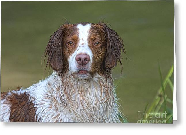 Hunting Bird Greeting Cards - My Wet Brittany Greeting Card by Timothy Flanigan and Debbie Flanigan at Nature Exposure