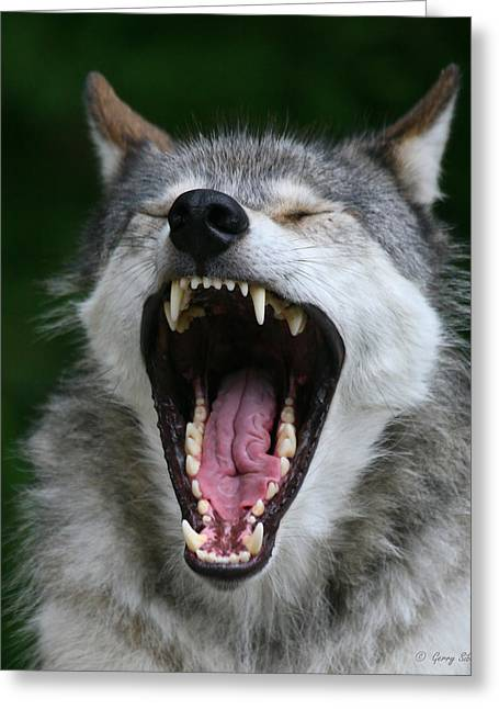 Best Sellers -  - Nature Center Greeting Cards - My What Big Teeth You Have Grandma Greeting Card by Gerry Sibell