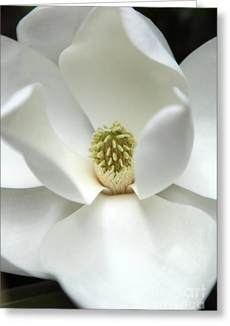 Magnolia Tree Greeting Cards - Mysteriously Greeting Card by Amanda Barcon