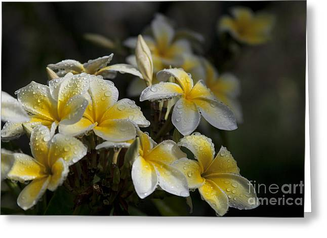 Courage Greeting Cards - Na Lei Pua Melia - Morning Whispers Greeting Card by Sharon Mau