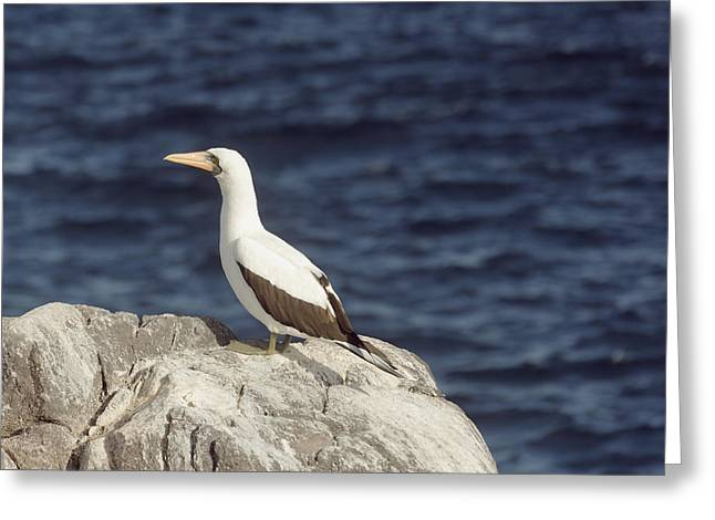 Saw Greeting Cards - Nacza booby overlooking the ocean Greeting Card by Guido Vermeulen-Perdaen
