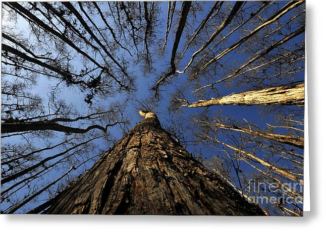 Bald Cypress Greeting Cards - Naked Cypress Greeting Card by David Lee Thompson