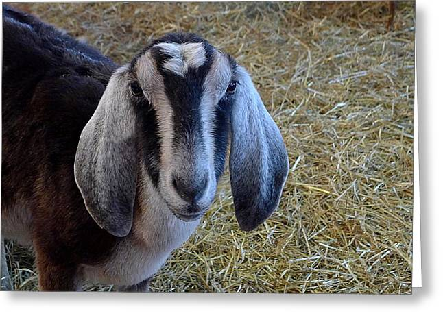 Nanny Goat Greeting Card by Richard Reeve