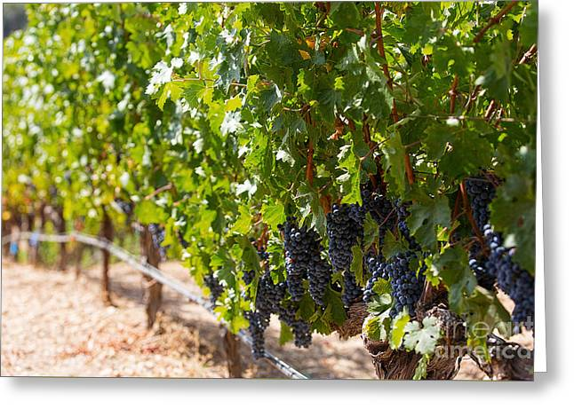 Grape Vineyard Greeting Cards - Napa Valley Vineyards 2 Greeting Card by Jacque The Muse Photography