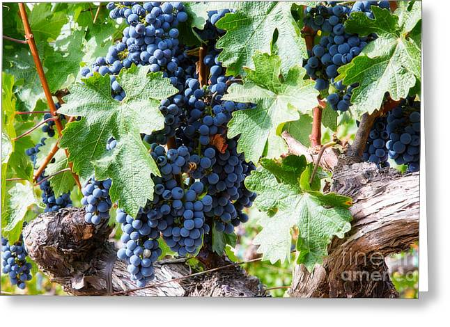 Grape Vineyard Greeting Cards - Napa Valley Wine Grapes 2 Greeting Card by Jacque The Muse Photography