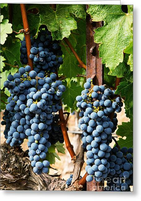 Grape Vineyard Greeting Cards - Napa Valley Wine Grapes Greeting Card by Jacque The Muse Photography