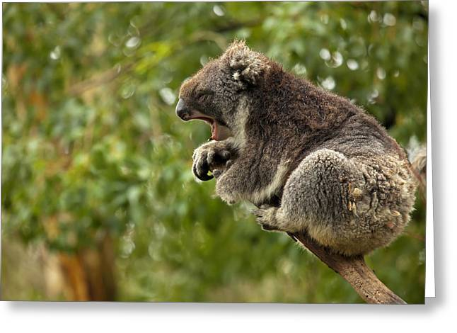 Koala Photographs Greeting Cards - Naptime Greeting Card by Mike  Dawson