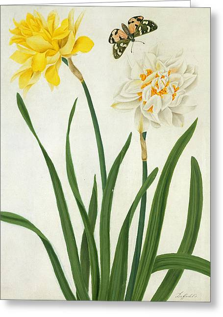 Butterflies Drawings Greeting Cards - Narcissi and Butterfly Greeting Card by Matilda Conyers